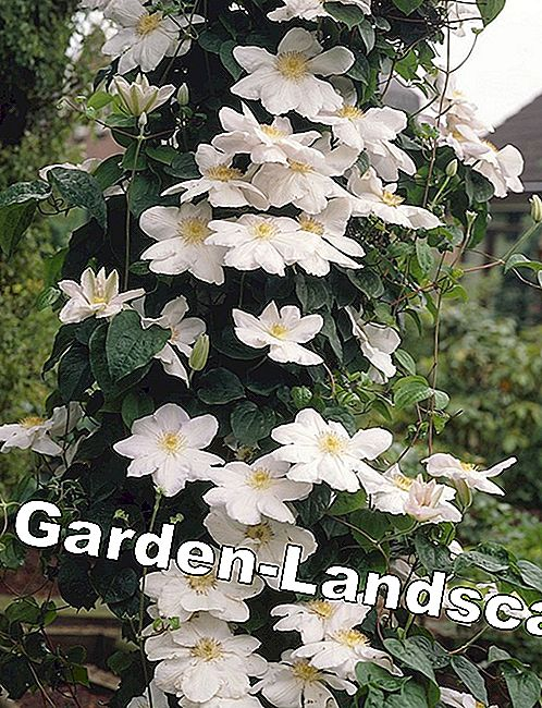 Clematis, Clematis 'Madame Le Coultre' - verzorging & snijden