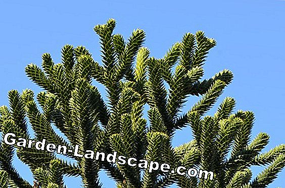 Monkey Tail Tree, Araucaria - Planter, Pleie og forplantning