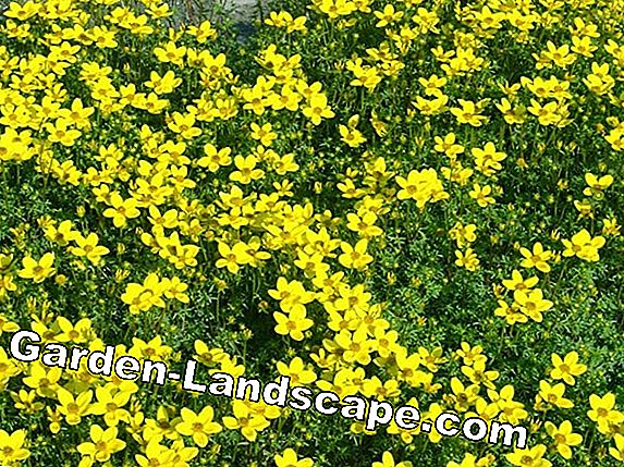Bidens ferulifolia - Plant & Care