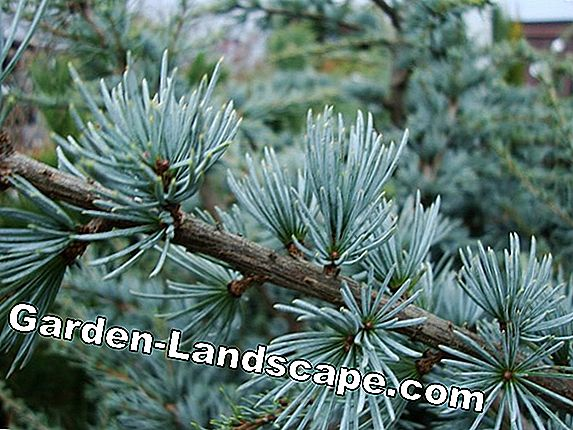 Blue Atlas Cedar - planten, verzorging en tips over ziekten