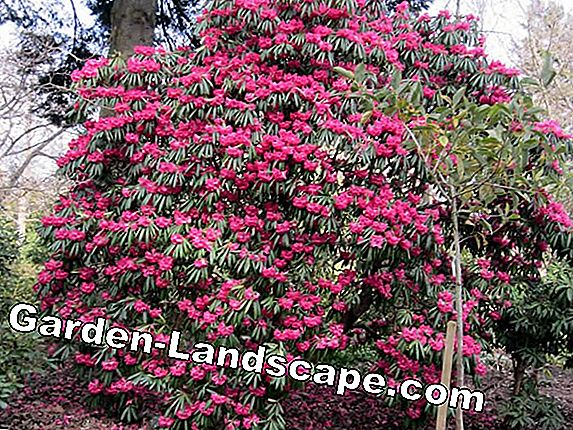Rhododendron multipliseres med offshoot
