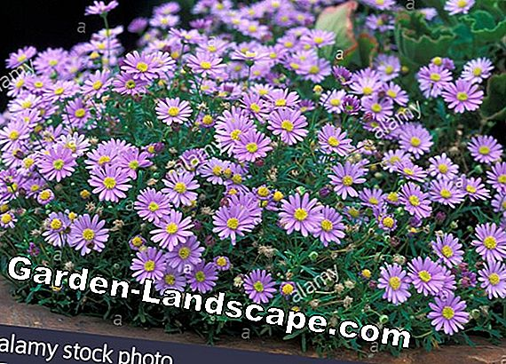 Blue Daisies, Brachyscome iberidifolia - Care & Wintering
