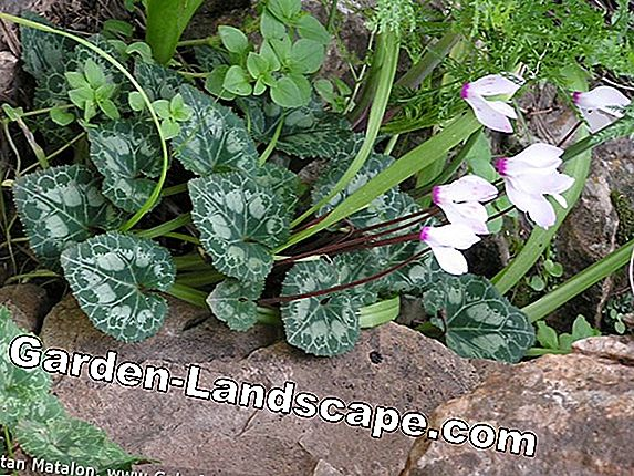 Cyclamen in wintertips