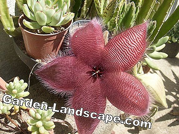 Stapelia & gigantea grandiflora (carrion flower) - vård