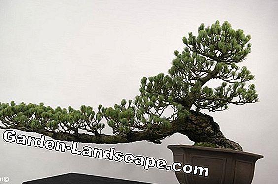 Bonsai Boom Verzorgen : Landscaping: indoor bonsai verzorging en winterslaap 2019