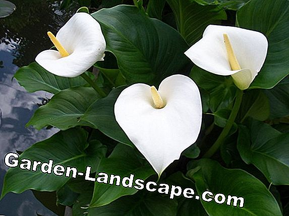 Is Calla / Zantedeschia winterhard? Informatie over de winter in de pot