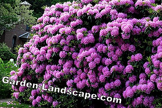 Plant Rhododendron goed