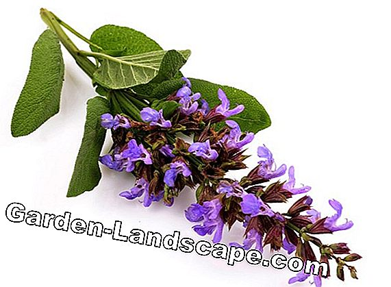 Clary sage, Salvia sclarea - geeft tips