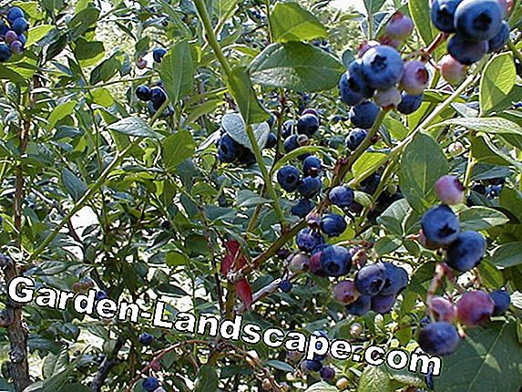 Blueberry bush care - planten en vermenigvuldigen