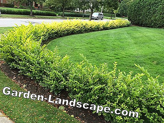 Goldliguster als Hedge & Hochstamm - Care & Cutting