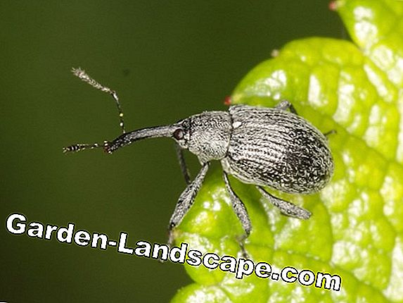 Strawberry blossom weevil