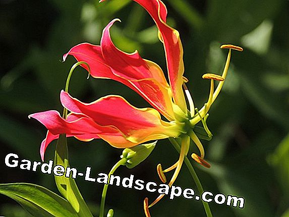 African Climbing Lily, Gloriosa rothschildiana - omsorg