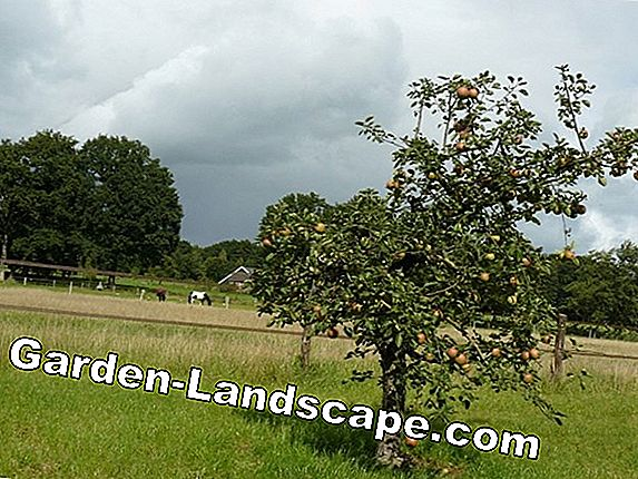 Apple, appelboom