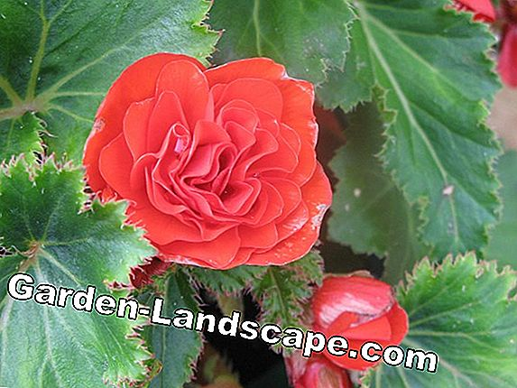 Winterize de begonia's in de pot - zorg in de winter
