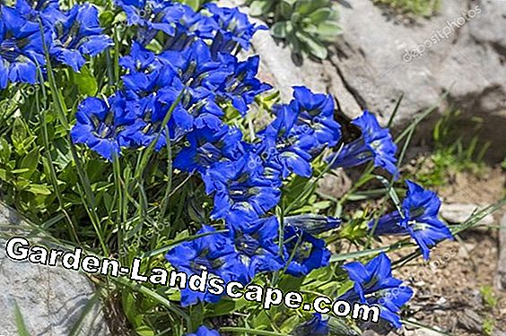 Blue Gentiaan - Flower Care, over hoogtijdagen en de overwintering