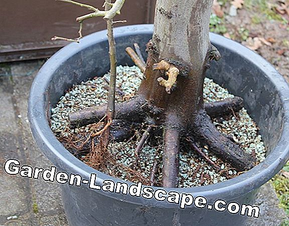Verpot bonsai - instructies in 7 stappen