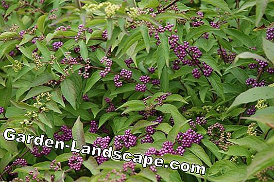 Chinese Beauty Fruit, Callicarpa giraldii - Verpleeggids