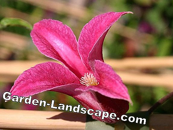 Clematis, Clematis 'Texensis Princess Diana' - Care & Cutting