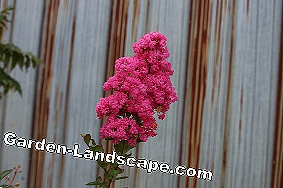 Lagerströmien, Lagerstroemia indica - Plant & Care
