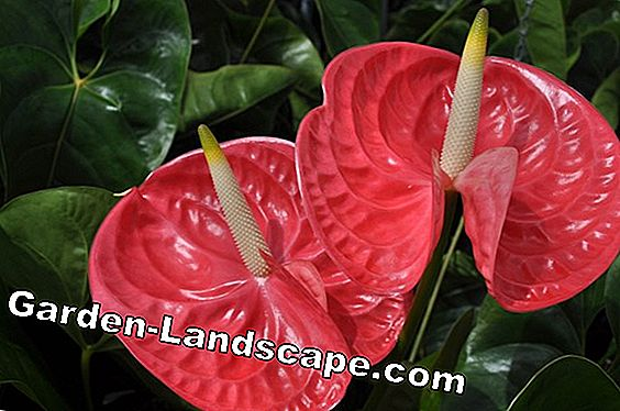 Flamingobloem, anthurium