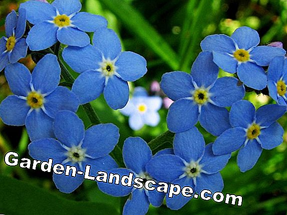 Forget-me-not, myosotis - zorg