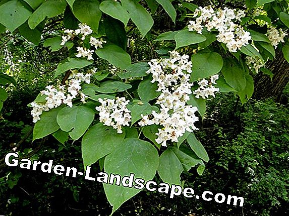 Ball bugle tree, Catalpa bignonioides - Verzorgingsinstructies