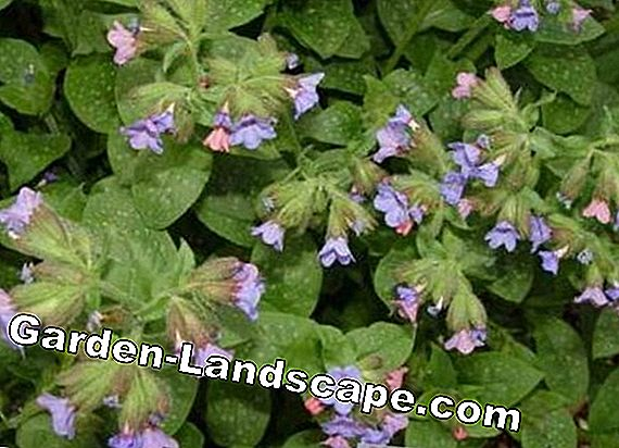 Longkruid, Pulmonaria officinalis - Zorg