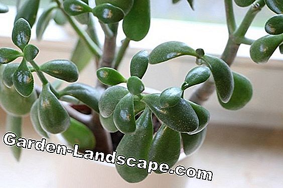 Snijd de Money Tree - Pfennigbaum, Crassula ovata