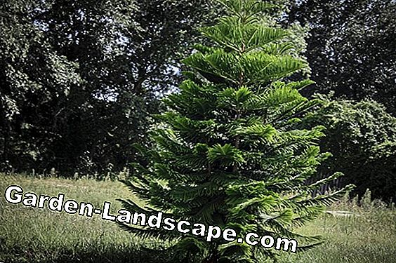 Noble fir, Abies procera, firewall instructies van Nobilis