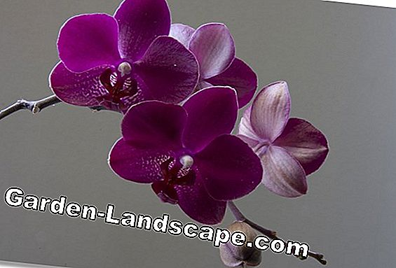 Orchideeën correct transplanteren - instructies