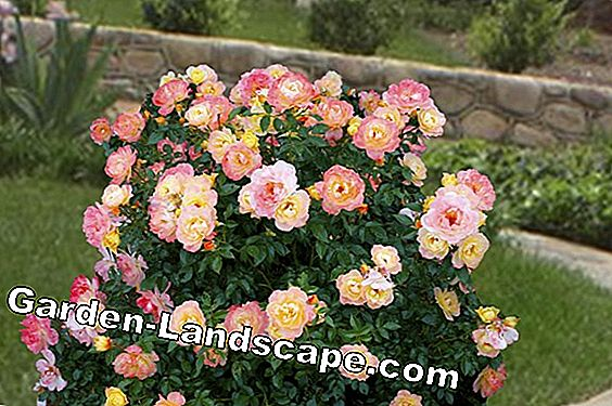 Container Rose Care: Klipp och repot