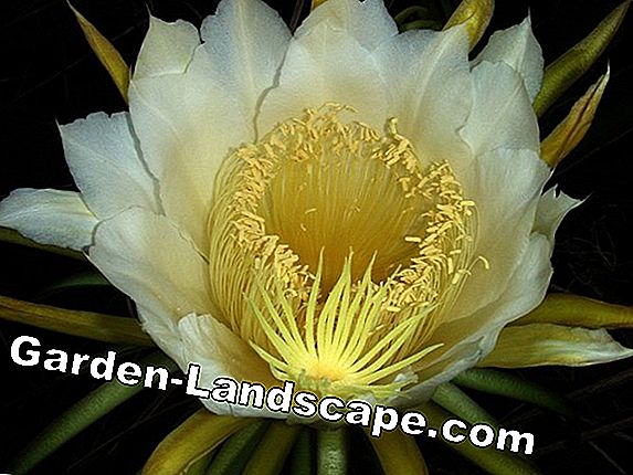 Queen of the Night Cactus - Verzorging van Selenicereus grandiflorus