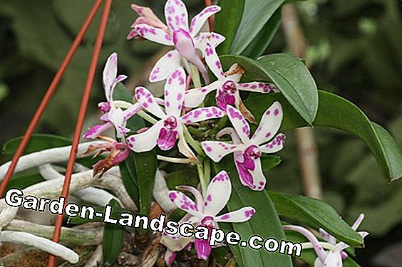 Rhynchostylis Orchids - Varieties and Care Instructions