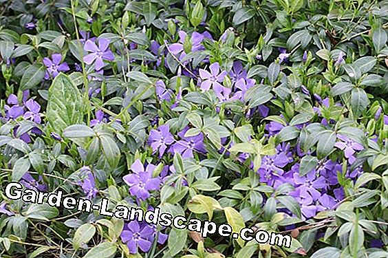Kleine maagdenpalm, Vinca minor - Profile, Care & Cut