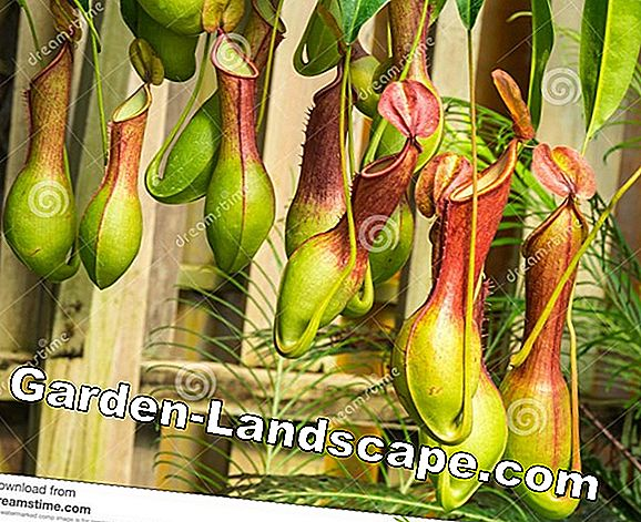 Pitcher Plant, Nepenthes - Zorg voor A-Z en voer goed
