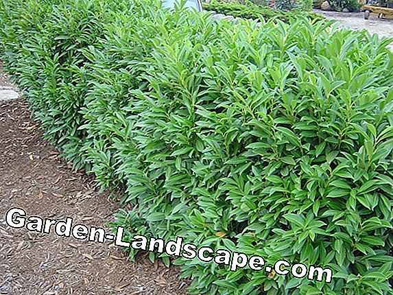 Cherry laurel hedge - plantafstand, snijden, bemesten