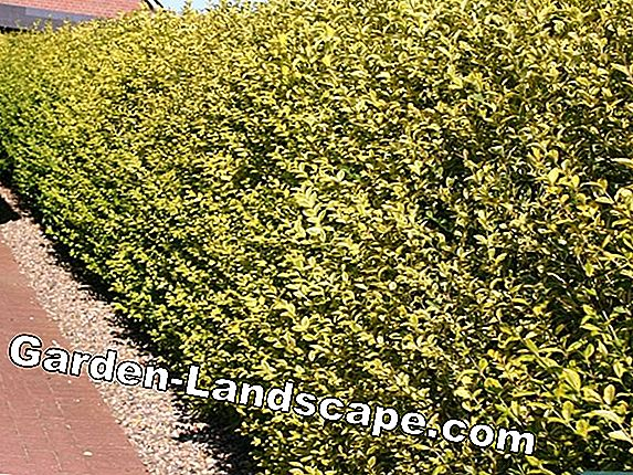 Goldliguster, Ligustrum ovalifolium Aureum - Care & Cutting