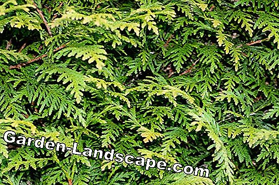 Plant Thuja Tree of Life goed - plant tijd en plant afstand