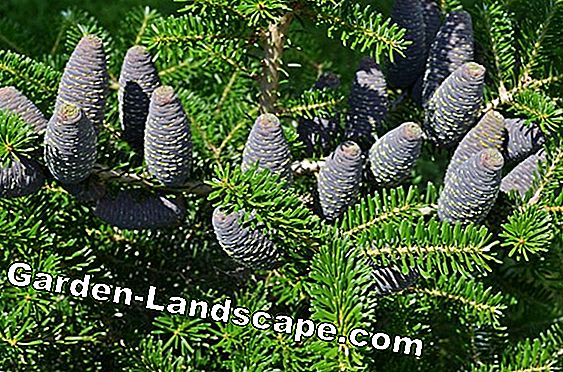 Evergreen ornamental gress: blad dekorasjon for vinteren
