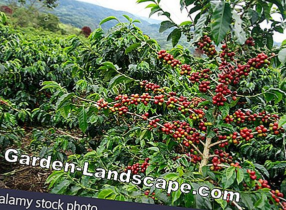 Coffea arabica - Plantering, Care & Cutting