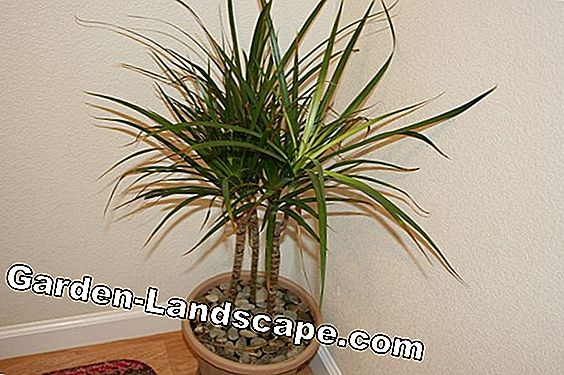 Dragon Palm - Care, kutte, giftig for katter?