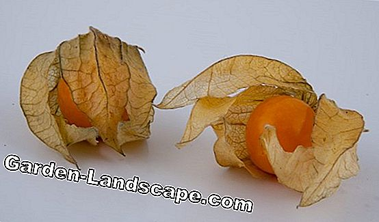 Physalis, Andes bær