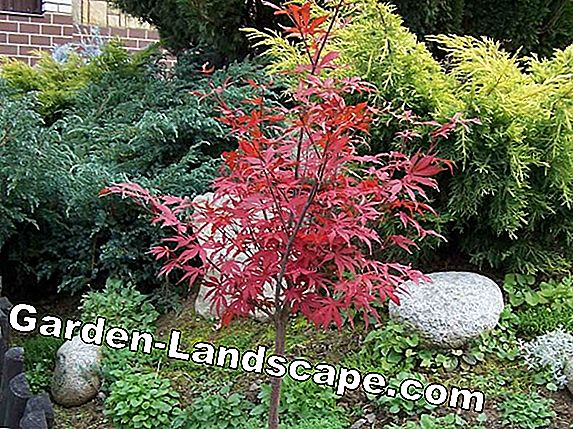 Maple as Bonsai - Care (Japansk Maple, Field Maple, Sycamore Maple)