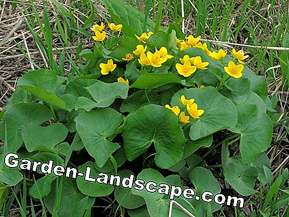 Marsh Marigold - Plats, Care & Propagation