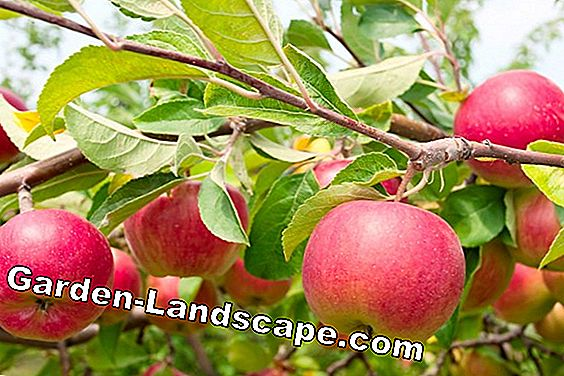 Apple Tree Cut: Grundläggande Guide - Skär Apple Tree