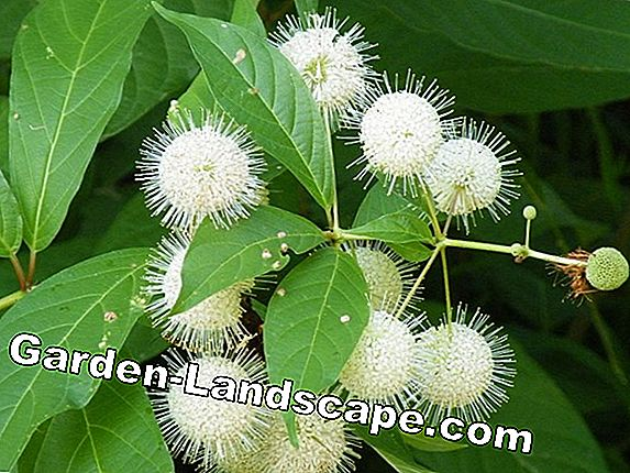 Button Bush, Cephalanthus Occidentalis - allt att ta hand om
