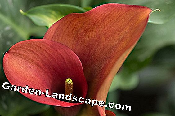 Flamingo blomma, anthurium