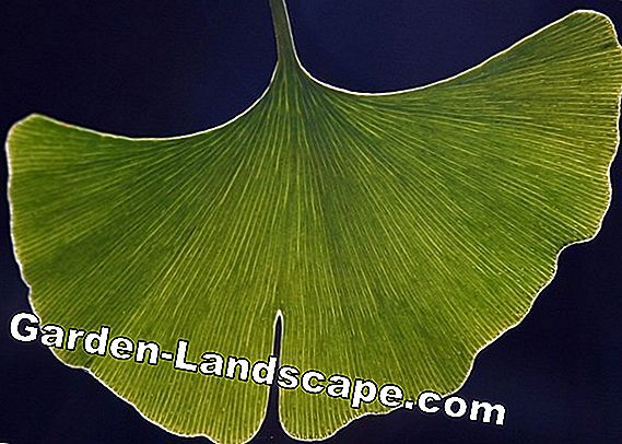 Ginkgo växt - ginko (fan leaf tree) - vård