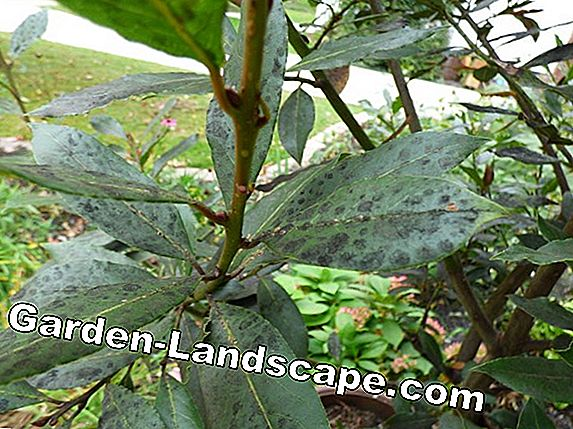 Laurel tree, Laurus nobilis - Care, propagation & hibernation info
