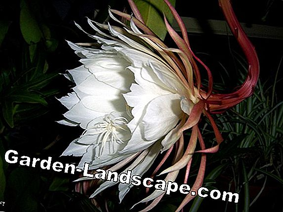 Queen of the Night Cactus - Vård av Selenicereus grandiflorus